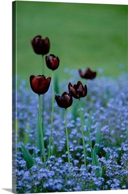 Canada, British Columbia, Butchart Gardens. Dark tulips in field of blue