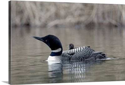 Canada, British Columbia. Common Loon, with chick