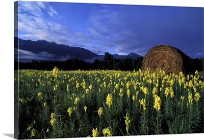 Canada, British Columbia, Kitwanga. Yellow flowers and giant hay bales