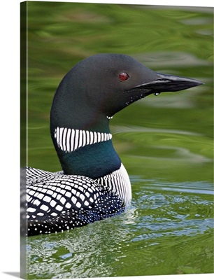 Canada, British Columbia, Lac Le Jeune. Common Loon