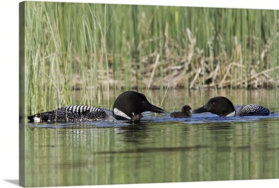 Canada, British Columbia, Lac Le Jeune. Common Loon pair feeding a chick