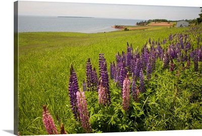 Canada, Prince Edward Island, Argyle Shore. Wild Lupin.