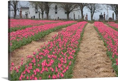 Canada, Prince Edward Island, Pownal. Tulip fields