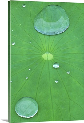 Canada, Quebec, Montreal. Water beads on lotus leaf at Montreal Botanical Garden