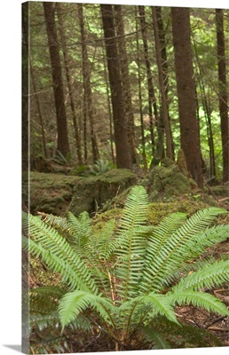 Canada, Queen Charlotte Islands, Spirit Lake Trail, Sword fern in rainforest