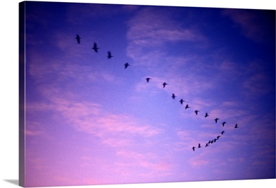 Canada, Saskatchewan, Canadian Geese fly past clouds lit by setting sun over Regina