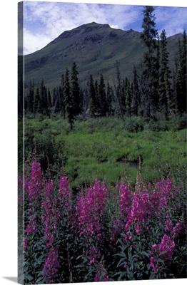 Canada, Yukon. Dwarf Fireweed in the Tombstone Range