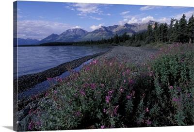 Canada, Yukon, Kluane National Park. Dwarf fireweed along Kluane Lake