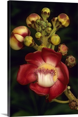 Cannonball tree flower, , South America
