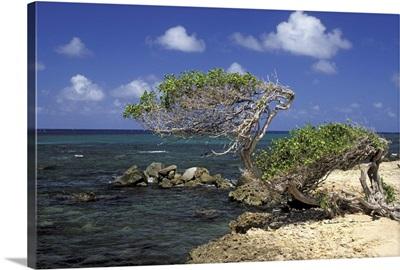 Caribbean, Aruba, Cudaribe Point. Divi Divi tree
