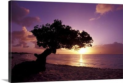 Caribbean, Aruba, divi divi tree at sunset
