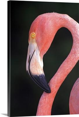 Caribbean, Aruba, Sonesta Island, Caribbean Flamingo