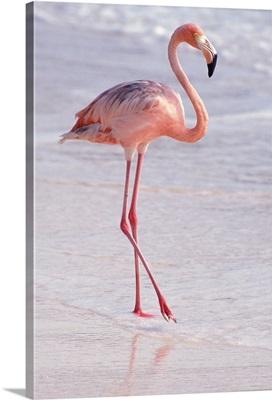 Caribbean, Aruba, Sonesta Island, Flamingo