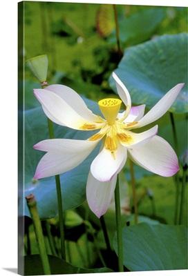 Caribbean, Barbados, Lily blossom