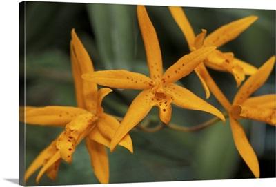 Caribbean, Barbados, St. George Parish. Orchid World