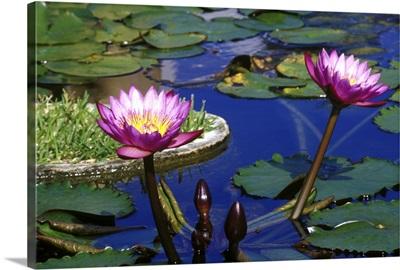Caribbean, Bermuda, Devonshire Parish, Water Lillies in reflecting pool