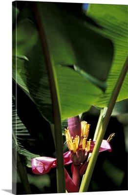Caribbean, French West Indies, Martinique, Jardin de Balata, banana flower