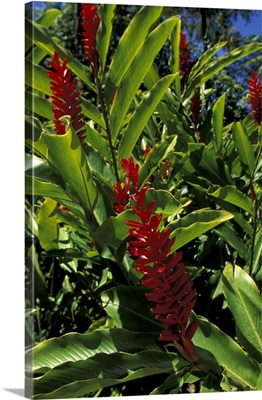 Caribbean, French West Indies, Martinique, Jardin de Balata, red ginger