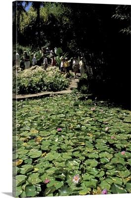 Caribbean, French West Indies, Martinique Jardin de Balata; Water lillies