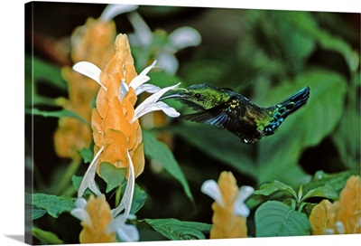 Caribbean, Lesser Antilles, West Indies, Saint Lucia. Hummingbird feeding