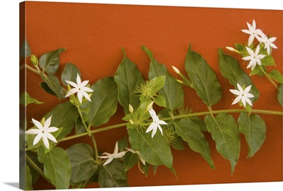 Caribbean, Netherlands Antilles, Curacao, Willemstad, flowering vine on red wall