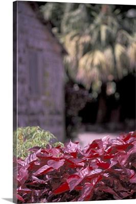 Caribbean, St. Lucia Lipstick plant leaves