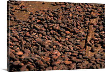 Caribbean, St. Lucia, Soufriere. Cacao beans from a plantation
