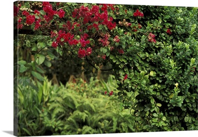 Caribbean, St. Lucia, Soufriere. Diamond Botanical Gardens, bougainvillea