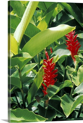 Caribbean, St. Lucia, Soufriere. Torch Ginger at a plantation