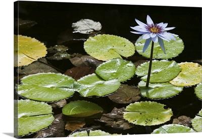 Cayman Islands, Frank Sound, Queen Elizabeth II Botanic Park, Lilly Pond