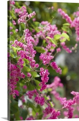 Cayman Islands, Frank Sound, Queen Elizabeth II Botanic Park, Mexican Creeper
