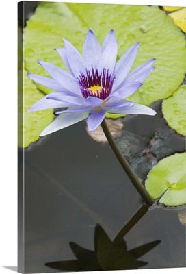 Cayman Islands, Grand Cayman, Queen Elizabeth II Botanic Park, Lily Pond