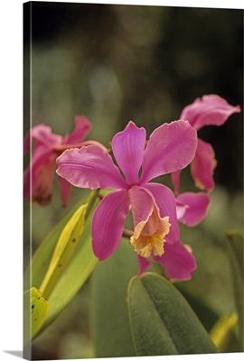 Central America, Costa Rica, Orchid