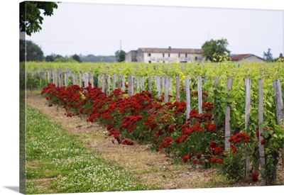 Chateau Bourgneuf Vayron Vineyard With Red Rose Bushes, Aquitaine, France