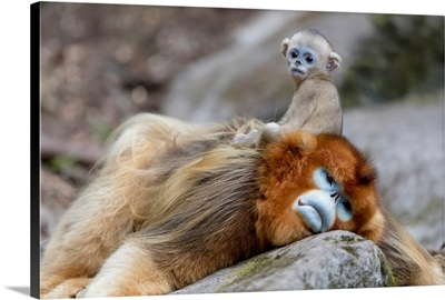 China, Shaanxi Province, Foping National Nature Reserve, Baby Golden Snub-Nosed Monkey