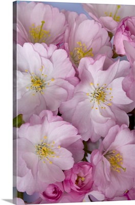 Close-up of a group of cherry blossoms or sakura in springtime