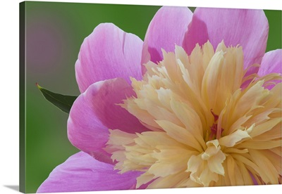Close-up of a Peony flower in bloom