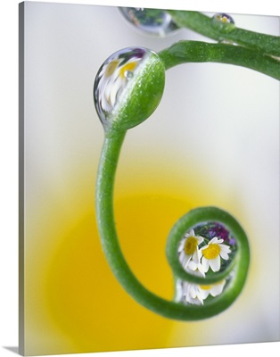 Close-up of dew drops on curved pea tendril reflecting daisy flowers in background