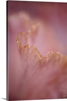 Close-up of edge of hybrid Bearded Iris petal