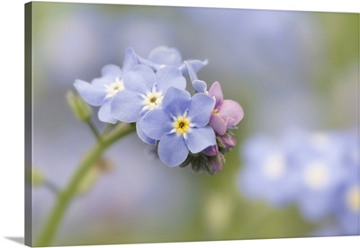 Close-up of forget-me-not in a garden