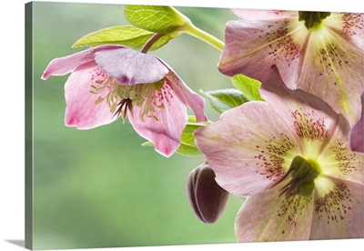 Close-up of hellebore flowers and bud