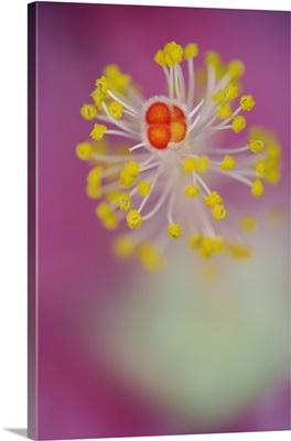 Close-up of Hibiscus flower stamen, Hibiscus rosasinensis