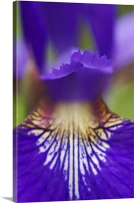 Close-up of hybrid Iris, Oconaluftee Visitor Center, Great Smoky Mountains N.P. NC