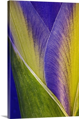 Close-up of Iris blossom