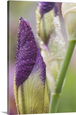 Close-up of iris bud with dew
