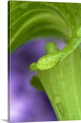 Close-up of Jack-in-the-Pulpit with violet background
