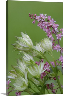 Close-up of pink heucherella and green astrantia flowers