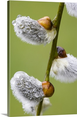 Close-up of rain drops on pussy willows