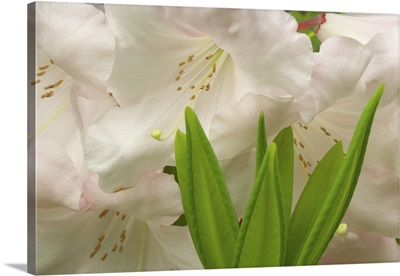 Close-up of white rhododendron blossoms and leaves