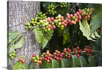 Coffee Plantation and museum, red coffee beans on plant, Antigua, Guatemala